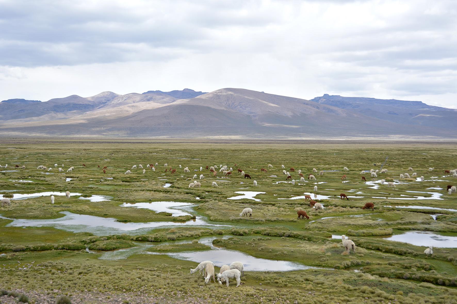 vale-do-colca-alpacas