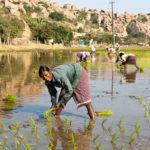 Mulheres nas platanções de arroz, em Hampi